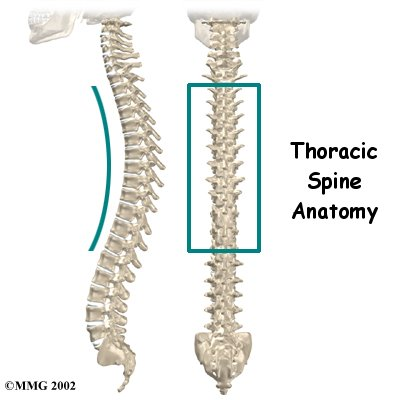 IMAGE The thorasic spine viewed from the side and the back. IMAGE