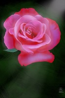 IMAGE A lovely pink rose. IMAGE