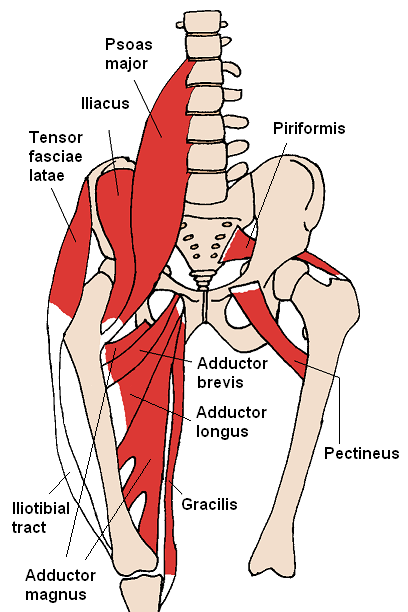 IMAGE Sketch of the muscles affecting the hip joint IMAGE