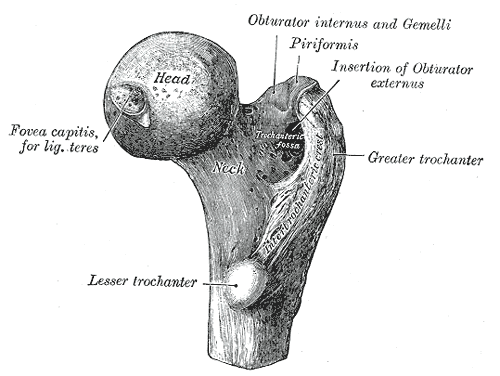 IMAGE Sketch of the femur head - the ball of the 'ball and socket' hip joint IMAGE