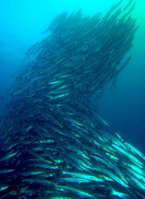 A school of barracuda follow the leader